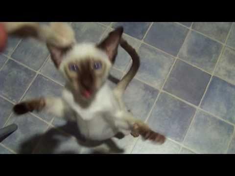 Siamese Kitten eating chicken