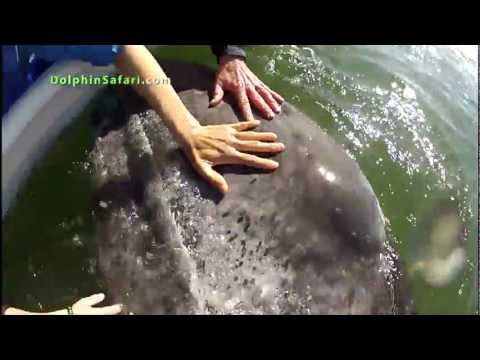 """""""Teething"""" Baby Whale Uses Humans As Pacifiers, Whale Watching"""