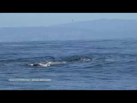 Orcas hunting a Gray whale calf, Monterey Bay 4/17/18. (Some may find this footage to be disturbing)