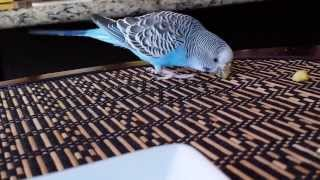 Budgie has a squeak instead of chirp