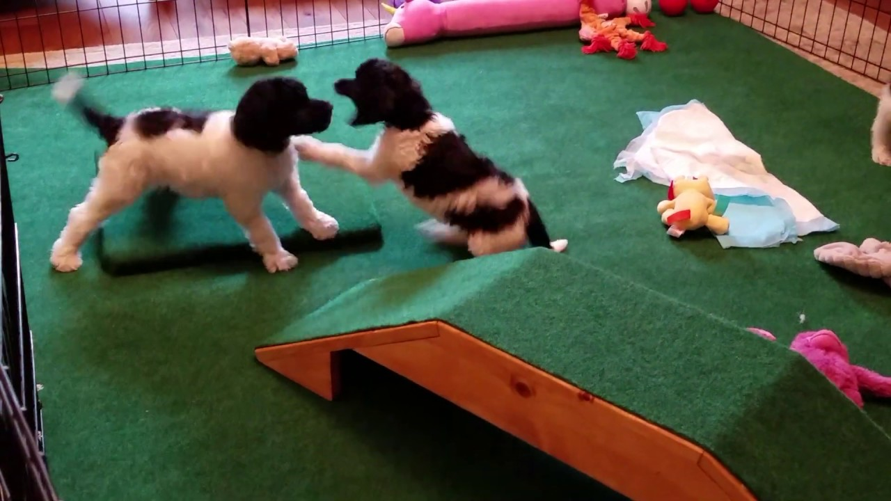 6 weeks puppy video 1