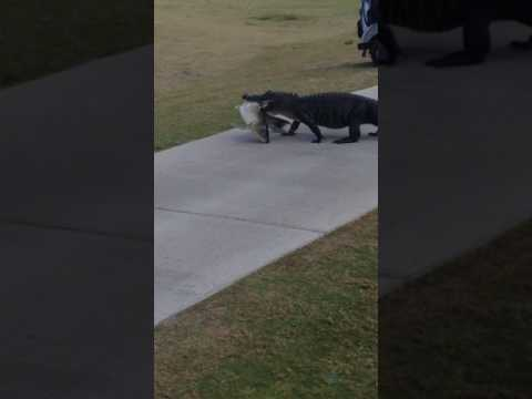 Alligator Walks Across Golf Course With Fish