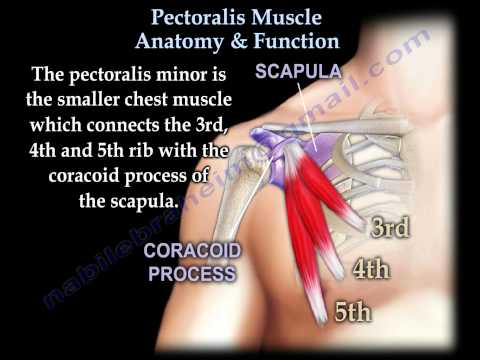 Pectoralis Muscle Anatomy & Function - Everything You Need To Know - Dr. Nabil Ebraheim