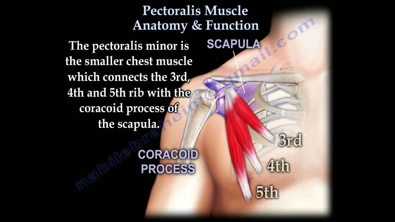 Pectoralis Muscle Anatomy Function Everything You Need To Know