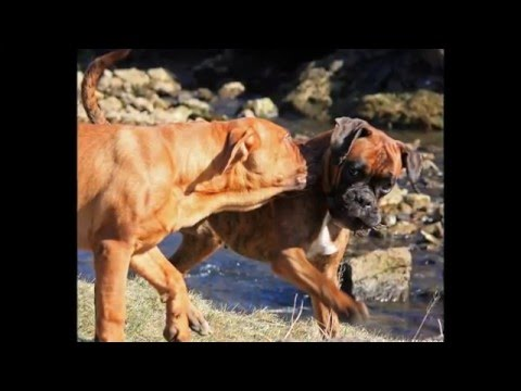 beautiful pictures of dogs breed German boxer