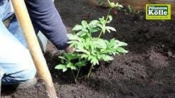Pfingstrose einpflanzen im Garten   Pflanzen-Kölle
