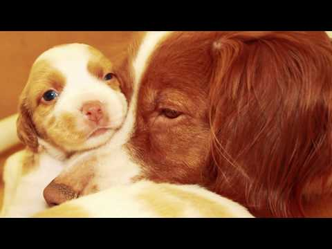 Brittany Spaniel Tribute to Spotty, Memories of Hunter's Heart Mustang Sally