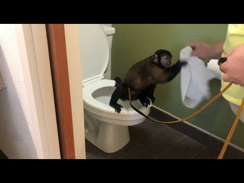 capuchin-monkey-uses-toilet,-cleans-hands,-and-more!!