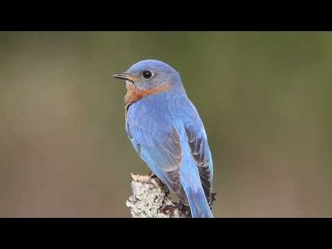 Tree Swallows and Eastern Bluebird