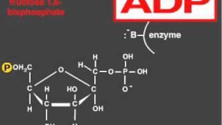 Glycolysis explained