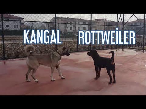 KANGAL VS ROTTWEİLER ! – KANGALLA ROTTWEİLER BİR ARADA !