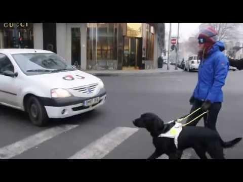 Pregatire caini ghizi, Labrador Retriever