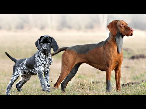 These Are 10 Ultimate Pointing Dog Breeds