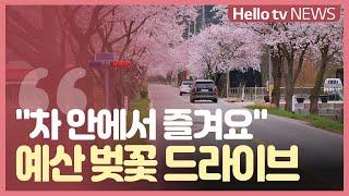 차 안에서 즐기는 봄...예산 ′벚꽃 드라이브′ 명소는…