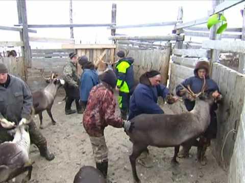 Забойная кампания 2016. На Ямале идёт обсуждение проблем оленеводства