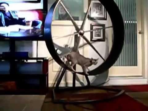 Singapura Cat on Exercise Wheel
