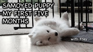 Living with a Samoyed Puppy  The first 5 months. #samoyed #samoyedpuppy #puppy #growingup