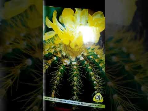 Эхинокактус Грузони, выращиваем из семян.
