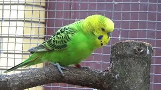 Papużka falista - samczyk