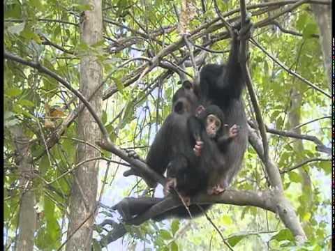 Chimpanzees at Serengeti National Park  Part 1