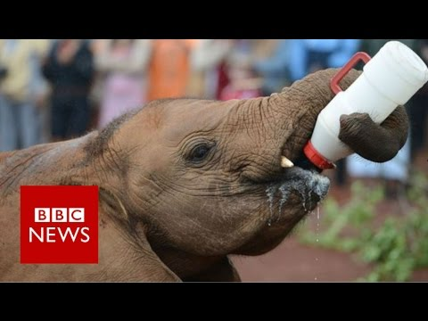 One woman's mission to save orphaned elephants - BBC News
