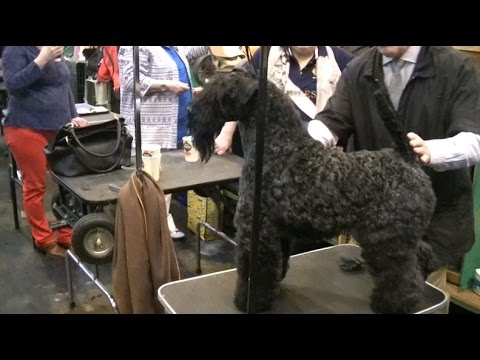 Kerry Blue Terrier in Crufts 2017
