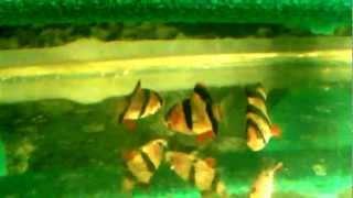 АКВАРИУМНЫЕ РЫБКИ: БАРБУСЫ (ДОСТАВКА ПО КИЕВУ: +380631394858)(КУПИТЬ АКВАРИУМНЫХ РЫБОК БАРБУСЫ СУМАТРАНСКИЕ http://goldfish.moy.su/index/0-12 ТЕЛ. 063 139 48 58 ДОСТАВКА ТОЛЬКО ПО ГОРОДУ..., 2012-12-07T03:24:38.000Z)