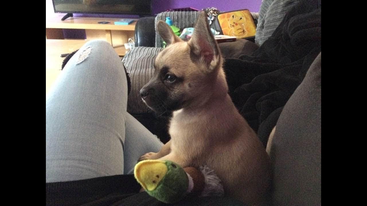 french bulldog x pomeranian puppy called pie! cutest dog ever!