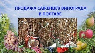Виноград 2018. Продажа саженцев винограда. г. Полтава
