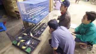 Gambar cover Berburu Cucak Kombo Sumbawa Gacor Di Pasar Burung