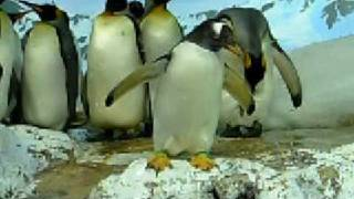 コウテイペンギン、またはエンペラーペンギン(学名:Aptenodytes forst...