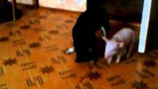 собачка и поросенок1