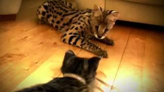 Редкая порода кошка Ашера