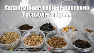 Карантинные сорные растения Республики Крым