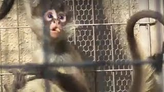 #08.Too cute! Baby Geoffroy's Spider Monkey at Üeno Zoo.可愛いジェフロイクモザルの赤ちゃん。上野動物園。 thumbnail
