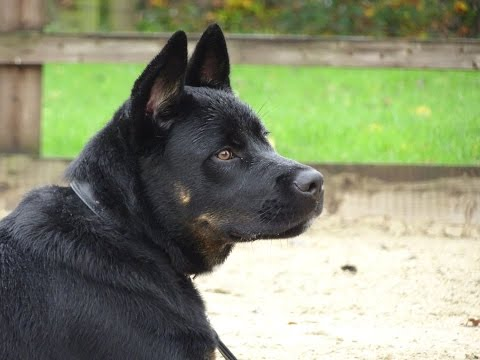 Elvis - Japanese Akita x Rottweiler - 4 Week Residential Dog Training at Adolescent Dogs