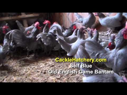 Self Blue Old English Game Bantam Chickens (Breeder Flock) | Cackle Hatchery