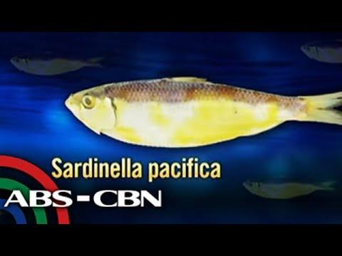 Bagong uri ng sardinas, nadiskubre sa Manila Bay | Bandila