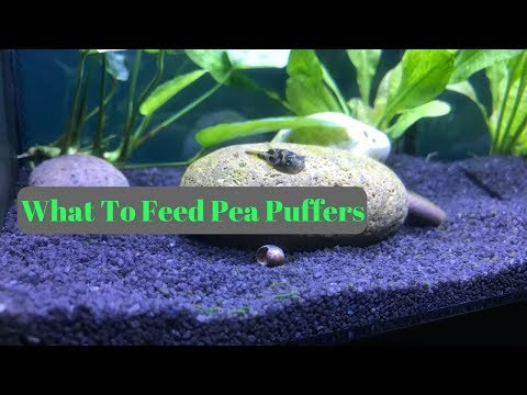 What To Feed Dwarf Puffer Fish