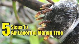 Mango Tree: 5 Steps To Air Layering Mango Tree