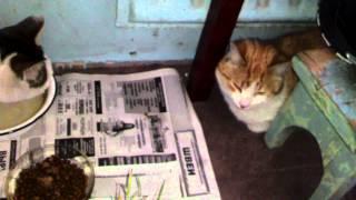 Санкт-Петербург. Коты Рыжик и Коша знакомятся