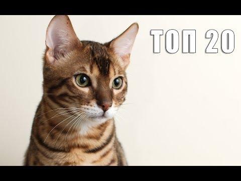 Бенгальская кошка: ТОП 20 обоев с бенгальской кошкой на рабочий стол