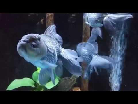 Chinese Blue Oranda At Pet World Rochester