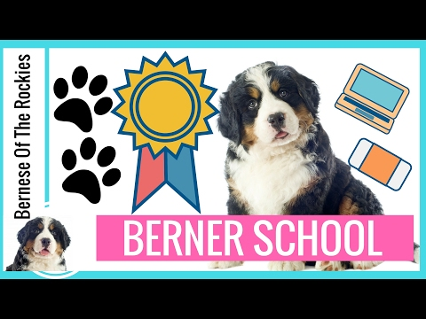 Berner School: Bernese Mountain Dog Research and Education (for SERIOUS puppy buyers only!)
