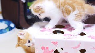 かわいいマンチカンのルナとミュウが子猫時代だった頃♪ 箱に入ったり出...