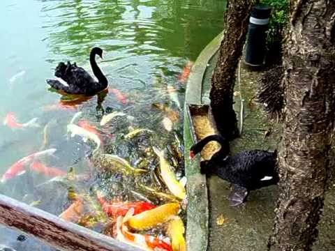 Black swans feeding koi fish 3 youtube for Feeding koi fish