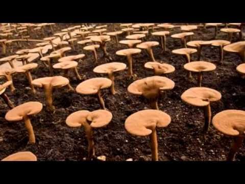 Рейши - «гриб бессмертия»