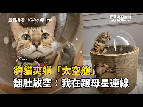 豹貓爽躺「太空艙」 翻肚放空:我在跟母星連線