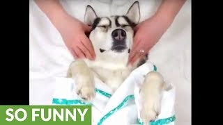 "Husky has ""ruff"" week, gets relaxing massage"