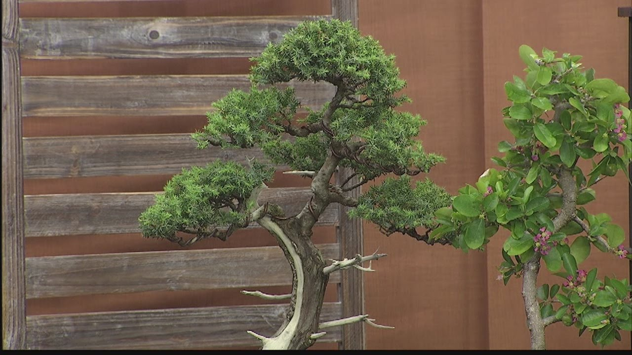 Hawaii Bonsai Association Bonsai Exhibit And Plant Fair Youtube